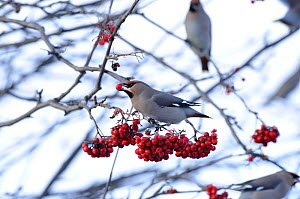 Bohemian waxwings (Bombycilla garrulus) feeding on Mountain ash (Sorbus aucuparia) berries. Part of flocks visiting gardens and industrial estates in North Wales. Nr Ruthin, Clwyd, UK, November  -  Mike Potts