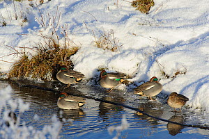 Common teal (Anas crecca) resting on ice in a creek. Cefni Estuary, Anglesey, North Wales, UK, December - Mike Potts