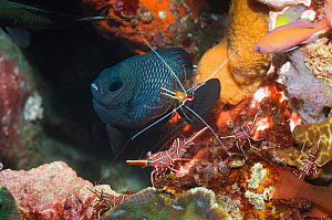 White Banded Cleaner Shrimp (Lysmata amboinensis) attending to a Three-spot Damselfish (Dascyllus trimaculatus), with Hingebeak Shrimps (Rhynchocinetes durbanenesis) in foreground. Rinca, Komodo Natio... - Georgette Douwma