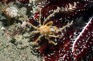 Hydroid or Fairy Crab (Hyastenus bispinosus) on crinoid or featherstar. Hydroid polyps are growing on its carapace. Rinca, Indonesia, October.  -  Georgette Douwma