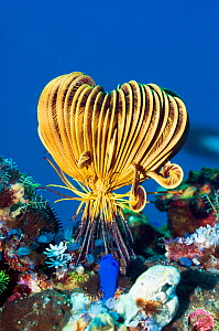 Crinoid or Featherstar (Crinoidea sp.) with most of its arms retracted, on coral reef; the blue organism in the foreground is a sea-squirt (sessile form). Rinca, Komodo National Park, Indonesia, Octob... - Georgette Douwma