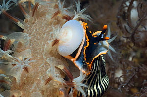 Nudibranch (Armina sp.) with its buccal bulb everted to feed on Sea Pen (Veretillum sp). Rinca, Komodo National Park, Indonesia, October.  -  Georgette Douwma