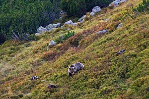 European Brown Bear (Ursus arctos) sow with cubs feeding on Blueberries (Vaccinium myrtillus) in a mountain meadow. Western Tatras, Slovakia, September.  -  Bruno D'Amicis