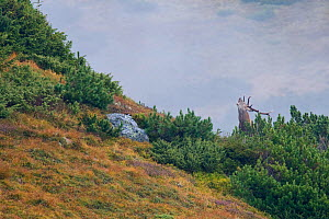 Red Deer (Cervus elaphus) stag bellowing among Dwarf Pine (Pinus mugo) on mountain slope. Western Tatras, Slovakia, September.  -  Bruno D'Amicis