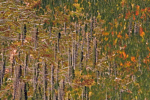 Visible differences between monospecific Spruce (Picea abies) forest affected by Bark Beetle (Curculionidae), and mixed forest (right), from a high perspective. West Tatras, Slovakia, September 2007.  -  Bruno D'Amicis