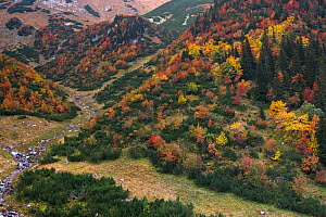 Coloured Rowan (Sorbus aucuparia) trees among Dwarf Pine (Pinus mugo) and Spruce (Picea abies) in a mountain glen. Western Tatras, Slovakia, September.  -  Bruno D'Amicis