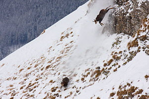 Tatra Chamois (Rupicapra rupicapra tatrica) males chasing each other on steep slope during rut season. Endangered subspecies. Belianske Tatras, Slovakia, November.  -  Bruno D'Amicis