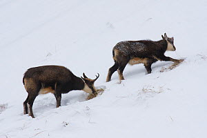 Tatra Chamois (Rupicapra rupicapra tatrica) female and kid foraging for food in snow. Endangered subspecies. Belianske Tatras, Slovakia, November.  -  Bruno D'Amicis