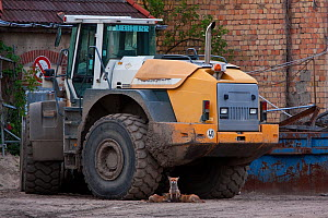 Red Fox (Vulpes vulpes) vixen nursing her cubs under tractor in urban construction site. Berlin, Germany, May.  -  Bruno D'Amicis