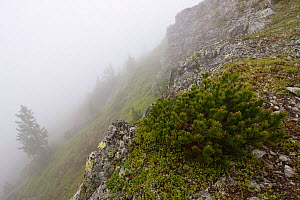 Dwarf Pine (Pinus mugo) and Arolla Pine (Pinus cembra) on mountain slope in fog. Westeren Tatras, Slovakia, June.  -  Bruno D'Amicis
