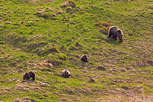 European Brown Bear (Ursus arctos) sow with cubs feeding on spring grass on a mountain meadow. Western Tatras, Slovakia, June.  -  Bruno D'Amicis