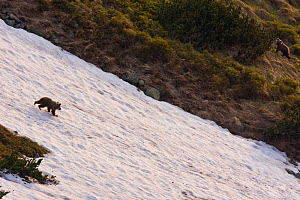 European Brown Bear (Ursus arctos) cub running down snow-covered slope. Western Tatras, Slovakia, June.  -  Bruno D'Amicis