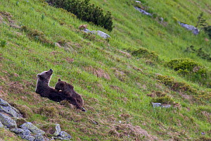 European Brown Bear (Ursus arctos) sow nursing two-year-old cub on mountain slope. Western Tatras, Slovakia, June.  -  Bruno D'Amicis