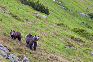 European Brown Bear (Ursus arctos) sow with two-year-old cub on mountain slope. Western Tatras, Slovakia, June.  -  Bruno D'Amicis