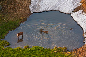 Red Deer (Cervus elaphus) stags bathing in a mountain pool. Western Tatras, Slovakia, June.  -  Bruno D'Amicis