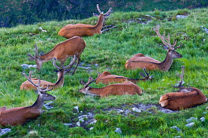 Red Deer (Cervus elaphus) stag bachelor group during velvet season, resting on mountain meadow. Western Tatras, Slovakia, June.  -  Bruno D'Amicis
