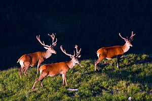 Red Deer (Cervus elaphus) stags bachelor group during velvet period in morning light. Western Tatras, Slovakia, June.  -  Bruno D'Amicis