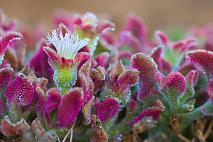 Common Iceplant (Mesembryanthemum crystallinum) in flower. Island of Linosa, Sicily, Italy, July. - Bruno D'Amicis