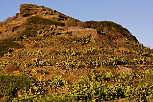 Volcanic dry stone walls with Caper (Capparis spinosa) and Indian-fig Opuntia (Opuntia ficus-indica). Linosa Island, Sicily, Italy, July. - Bruno D'Amicis