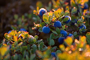 Bog Bilberry (Vaccinium uliginosus) with morning dew. Western Tatras, Slovakia, August.  -  Bruno D'Amicis