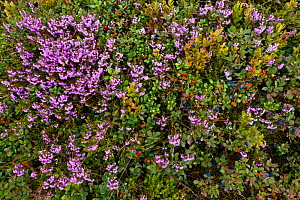 Bog Bilberry (Vaccinium uliginosum), Cowberry (Vaccinium vitisidaea) and Heather (Calluna vulgaris) in autumn. Western Tatras, Slovakia, August.  -  Bruno D'Amicis