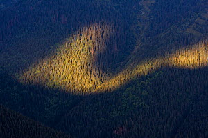 Light shaft on forested slope. Western Tatras, Slovakia, August.  -  Bruno D'Amicis