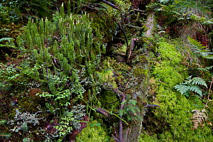 Ferns, lichens and mosses grow on dead wood on the floor of a mountain forest. Western Tatras, Slovakia, September.  -  Bruno D'Amicis