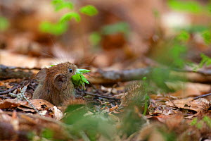 Bank Vole (Myodes / Clethrionomys glareolus) taking a mouthful of Beech leaves into its burrow. Bayerischer Wald National Park, Germany.  -  Bruno D'Amicis