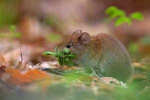 Bank Vole (Myodes / Clethrionomys glareolus) gathering a mouthful of Beech leaves. Bayerischer Wald National Park, Germany.  -  Bruno D'Amicis