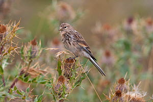 Twite (Carduelis / Acanthis flavirostris) in breeding plumage on thistle. Greater Caucasus, Georgia, September.  -  Bruno D'Amicis