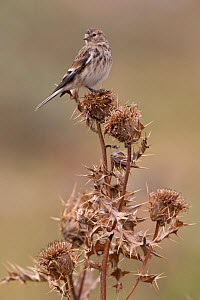Twite (Carduelis / Acanthis flavirostris) in breeding plumage perching on thistle. Greater Caucasus, Georgia, September.  -  Bruno D'Amicis