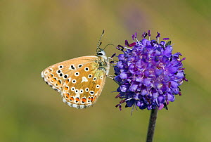 Adonis Blue (Polyommatus bellargus) female butterfly feeding on flower. Wiltshire, UK, September. - David Kjaer