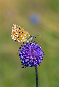 Adonis Blue (Polyommatus bellargus) female butterfly feeding on flower, Wiltshire, UK, September. - David Kjaer
