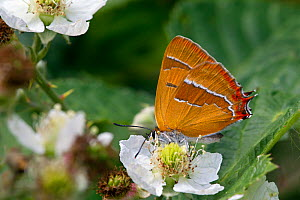 Brown Hairstreak (Thecla betulae) female butterfly feeding on flower, Dorset, UK, August. - David Kjaer