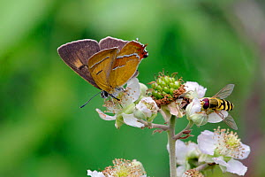 Brown Hairstreak (Thecla betulae) male butterfly and Hoverfly feeding on blackberry blossom, Dorset, UK, August. - David Kjaer