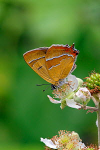 Brown Hairstreak (Thecla betulae) male feeding on flower, Dorset, UK, August. - David Kjaer