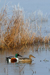 Northern shoveler pair (Anas clypeata) swimming near frosted rushes on flooded marshland on a foggy winter morning. Greylake RSPB reserve, Somerset Levels, UK, January - Nick Upton / 2020VISION