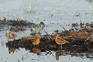Three Common snipe (Gallinago gallinago) foraging in unfrozen part of marsh with hoar frosted vegetation and frozen water in the background. Greylake RSPB reserve, Somerset Levels, UK, January  -  Nick Upton / 2020VISION