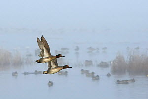 Two Common teal drakes (Anas crecca) in flight past Wigeon (Anas penelope) group swimming and standing on flooded Somerset Levels on a foggy winter morning. Greylake RSPB reserve, Somerset, UK, Januar... - Nick Upton