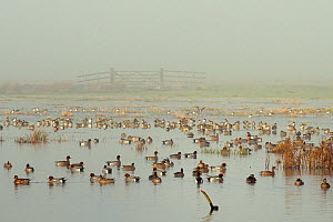 Large flock of Wigeon (Anas penelope) swimming and standing on flooded marshland on a foggy winter day with a small flock of Lapwings (Vanellus vanellus) in the background. Greylake RSPB reserve, Some... - Nick Upton