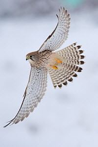 Common Kestrel (Falco tinnunculus) female in flight over snow. Germany, January. - Dietmar Nill