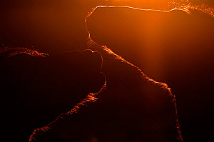 Silhouette of two backlit Konik Wild Horse (Equus ferus caballus). The Netherlands, July.  -  Edwin Giesbers