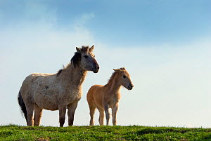 Konik Wild Horse (Equus ferus caballus) mother and foal standing on grassy hummock. The Netherlands, July.  -  Edwin Giesbers