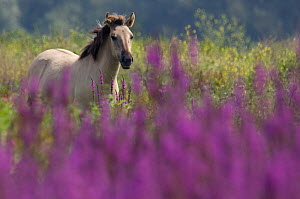 Konik Wild Horse (Equus ferus caballus) in grasslands with Purple loosestrife flowers (Lythrum salicaria) in foreground. The Netherlands, July.  -  Edwin Giesbers