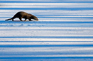 European Otter (Lutra lutra) walking across snow while sniffing the ground. The Netherlands, December. Captive. - Edwin Giesbers