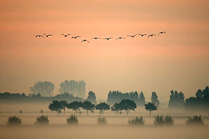 A flock of Greylag Geese (Anser anser) flying in formation above misty fields in the 'Ooijpolder' near Nijmegen. This is a delta area near the river Waal, The Netherlands, March.  -  Edwin Giesbers