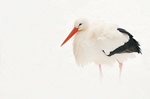 White Stork (Ciconia ciconia) in snow. The Netherlands, January. - Edwin Giesbers