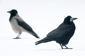 Profiles of a Rook (Corvus frugilegus), right, and a Hooded Crow (Corvus cornix), left, standing on snow. These species are gregarious and sometimes flock together but do not interbreed. The Netherlan...  -  Edwin Giesbers