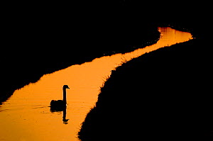 RF- Silhouette of Mute Swan (Cygnus olor)  on stream in the Netherlands. June. (This image may be licensed either as rights managed or royalty free.)  -  Edwin  Giesbers