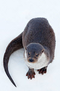 European Otter (Lutra lutra) standing on ice. Captive. The Netherlands, January. - Edwin Giesbers